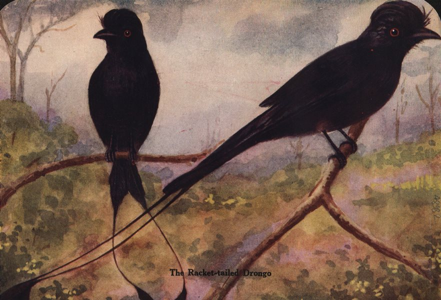 Associate Product INDIAN BIRDS. The Racket-tailed Drongo 1943 old vintage print picture