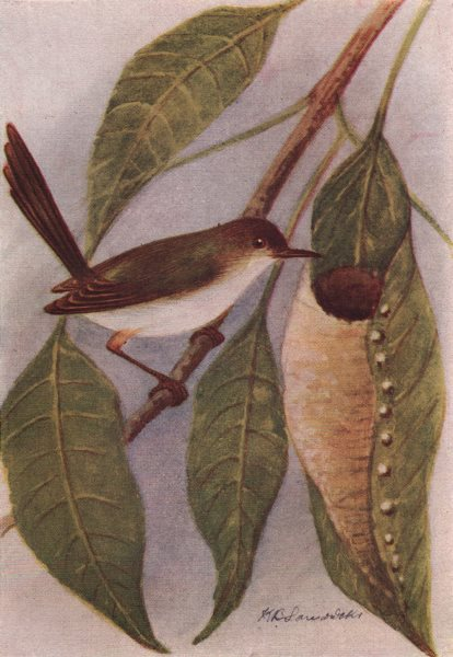 Associate Product INDIAN BIRDS. The Tailor-Bird 1943 old vintage print picture