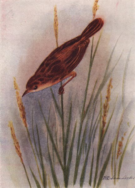Associate Product INDIAN BIRDS. The Streaked Fantail Warbler 1943 old vintage print picture