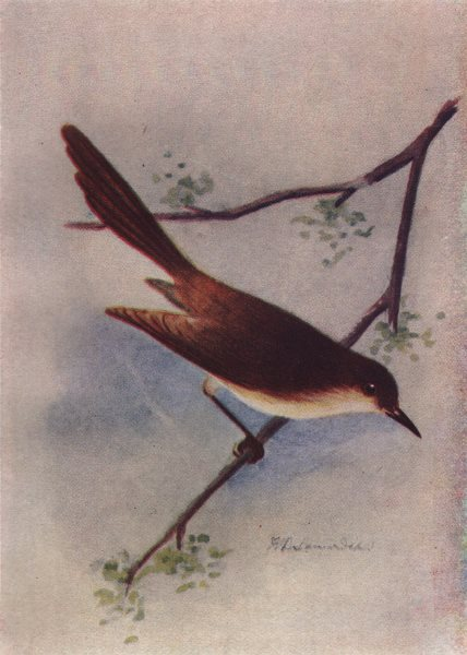 Associate Product INDIAN BIRDS. The Ashy Wren-Warbler 1943 old vintage print picture