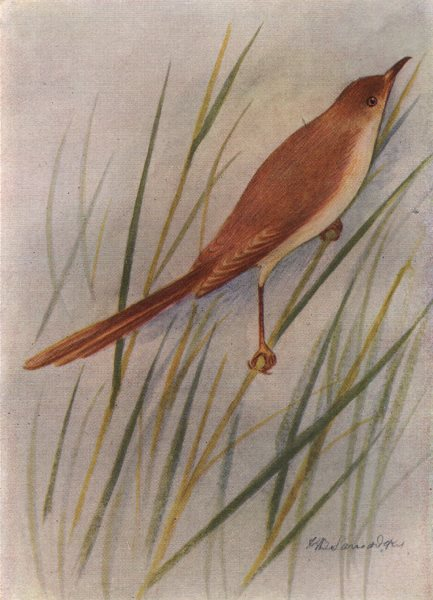Associate Product INDIAN BIRDS. The Indian Wren-Warbler 1943 old vintage print picture
