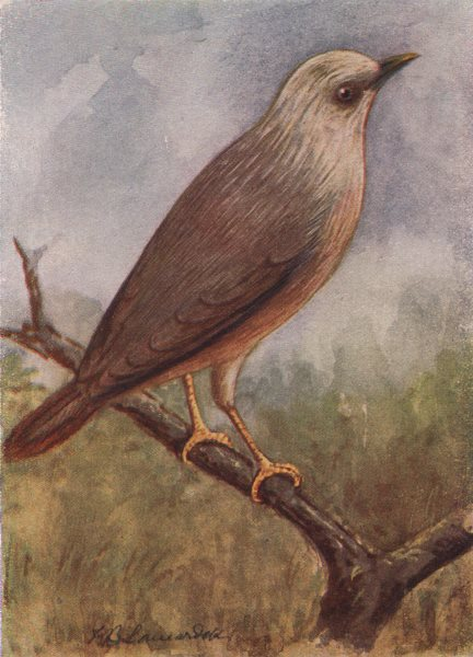 Associate Product INDIAN BIRDS. The Grey-headed Myna 1943 old vintage print picture