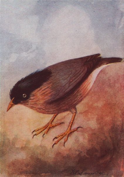 Associate Product INDIAN BIRDS. The Brahminy or Black-headed Myna 1943 old vintage print picture