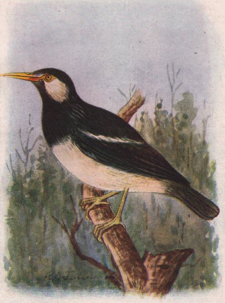 Associate Product INDIAN BIRDS. The Pied Myna 1943 old vintage print picture