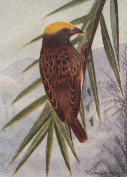 Associate Product INDIAN BIRDS. The Striated Weaver-Bird 1943 old vintage print picture