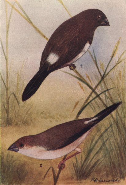 Associate Product INDIAN BIRDS. 1. The White-backed Munia; 2. The White-throated Munia 1943