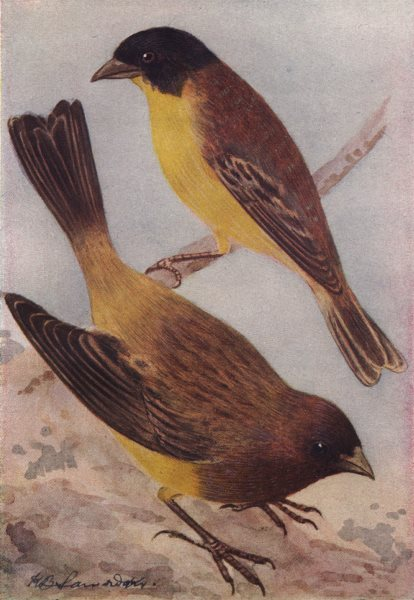 INDIAN BIRDS. The Black-headed Bunting; The Red-headed Bunting 1943 old print