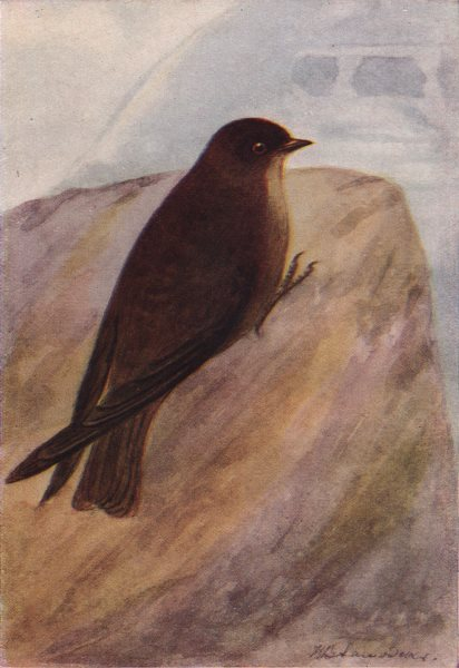 Associate Product INDIAN BIRDS. The Dusky Crag-Martin 1943 old vintage print picture