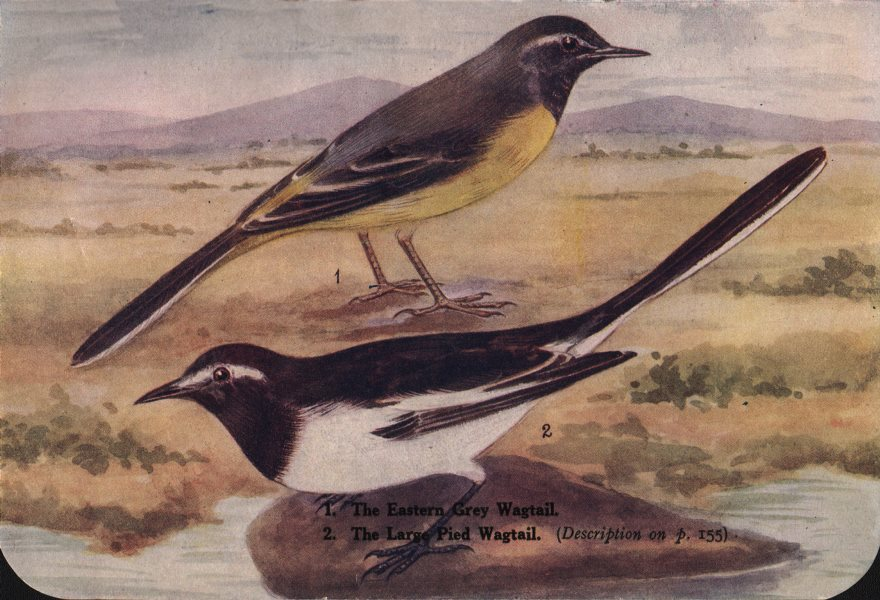 Associate Product INDIAN BIRDS. 1. The Eastern Grey Wagtail. 2. The Large Pied Wagtail 1943