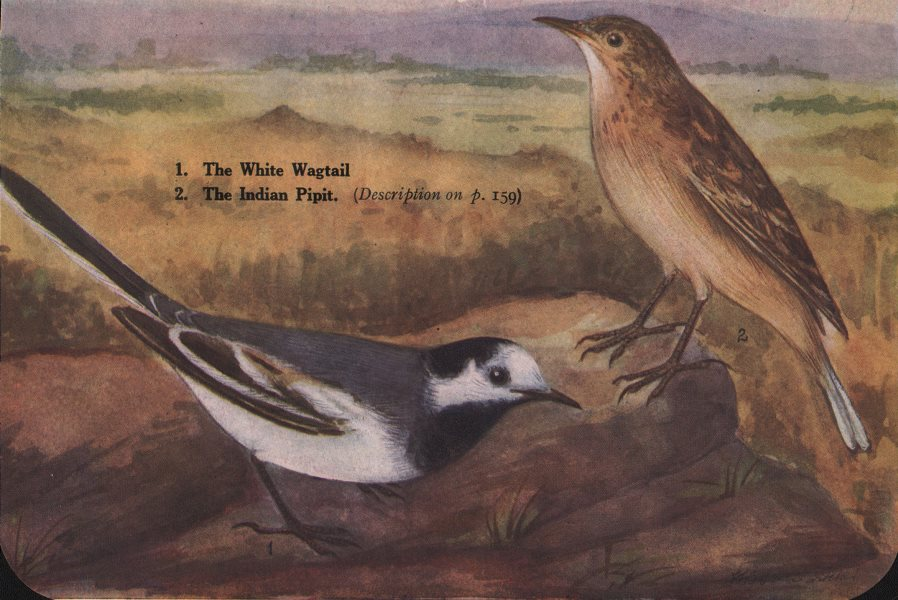 Associate Product INDIAN BIRDS. 1. The White Wagtail; 2. The Indian Pipit 1943 old vintage print