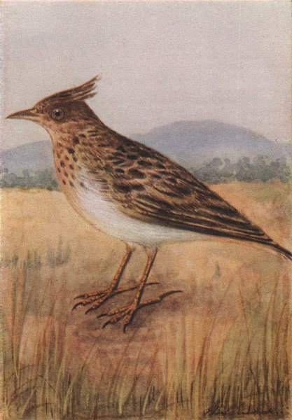 Associate Product INDIAN BIRDS. The Crested Lark 1943 old vintage print picture