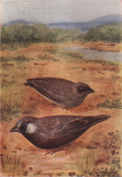Associate Product INDIAN BIRDS. The Ashy-Crowned Finch-Lark 1943 old vintage print picture