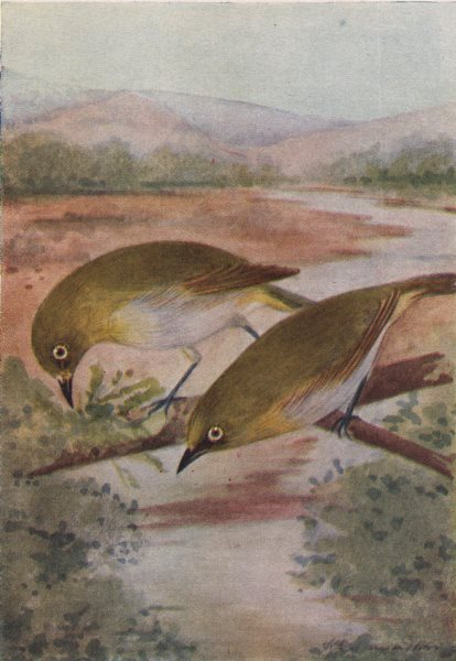 Associate Product INDIAN BIRDS. The White-eye 1943 old vintage print picture