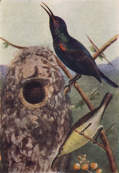 INDIAN BIRDS. The Purple Sunbird 1943 old vintage print picture
