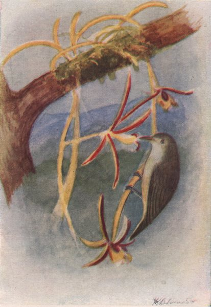 Associate Product INDIAN BIRDS. Tickell's flower-pecker 1943 old vintage print picture