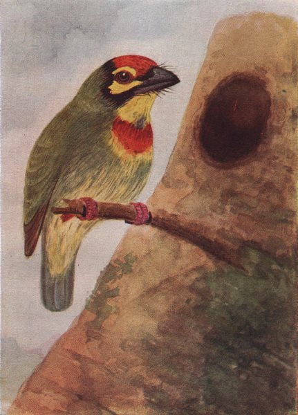 Associate Product INDIAN BIRDS. The Crimson-breasted Barbet or Coppersmith 1943 old print
