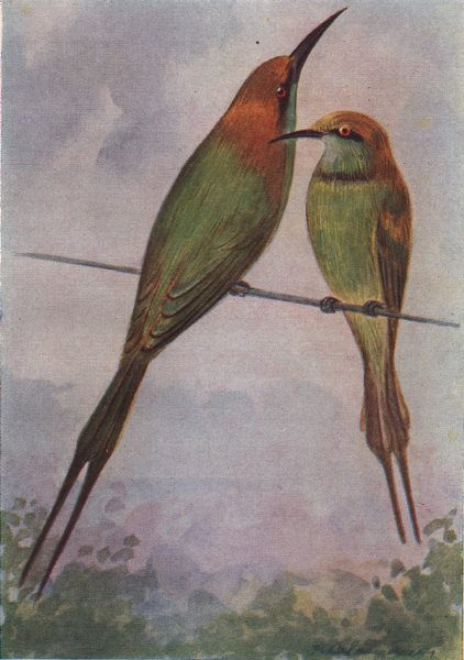 Associate Product INDIAN BIRDS. The Common or Green Bee-eater 1943 old vintage print picture