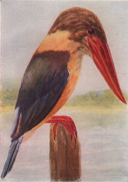 Associate Product INDIAN BIRDS. The Brown-headed Stork-billed Kingfisher 1943 old vintage print