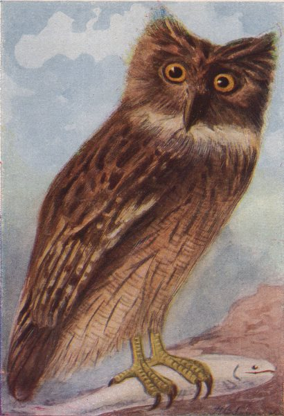 INDIAN BIRDS. The Brown Fish-Owl 1943 old vintage print picture