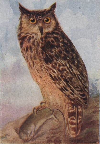 Associate Product INDIAN BIRDS. The Indian great Horned-owl 1943 old vintage print picture