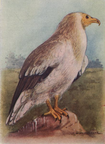Associate Product INDIAN BIRDS. The White Scavenger Vulture or Pharaoh's Chicken 1943 old print