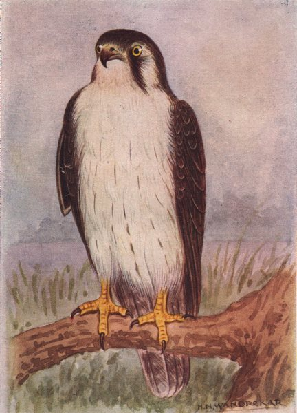 Associate Product INDIAN BIRDS. The Laggar Falcon 1943 old vintage print picture