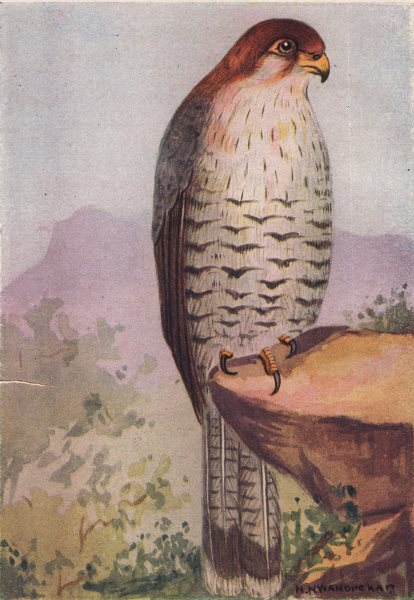 Associate Product INDIAN BIRDS. The Red-headed Merlin 1943 old vintage print picture