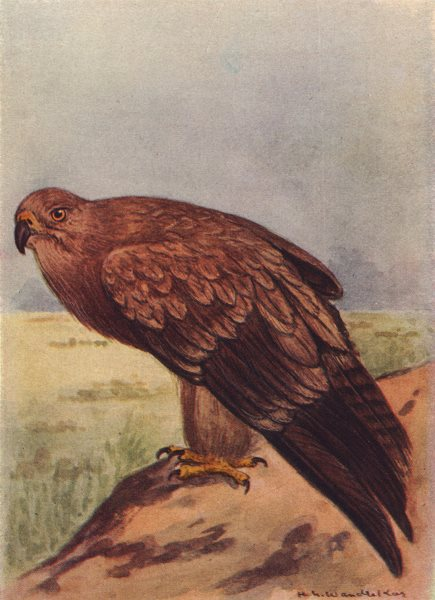 Associate Product INDIAN BIRDS. The Tawny Eagle 1943 old vintage print picture