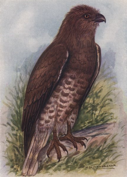 Associate Product INDIAN BIRDS. The Short-toed Eagle 1943 old vintage print picture