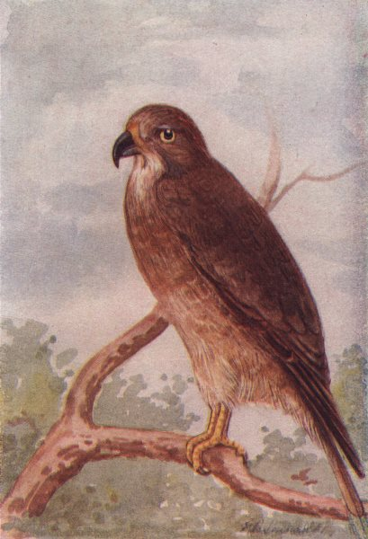 Associate Product INDIAN BIRDS. The White-eyed Buzzard-Eagle 1943 old vintage print picture