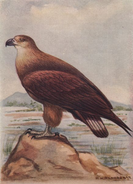 INDIAN BIRDS. Pallas's or the Ring-tailed Fishing-Eagle 1943 old vintage print