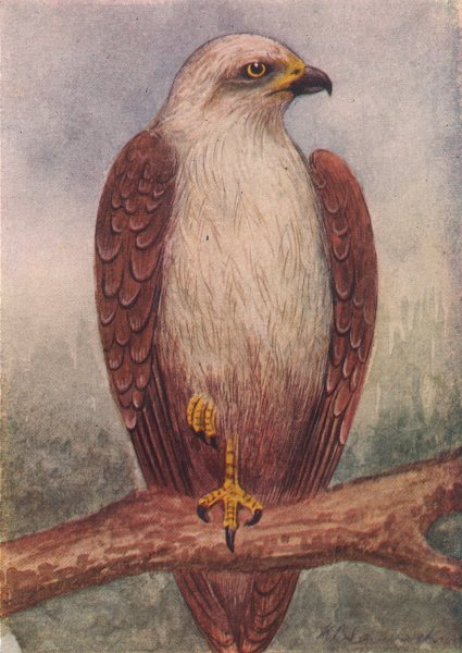 Associate Product INDIAN BIRDS. The Brahminy kite 1943 old vintage print picture