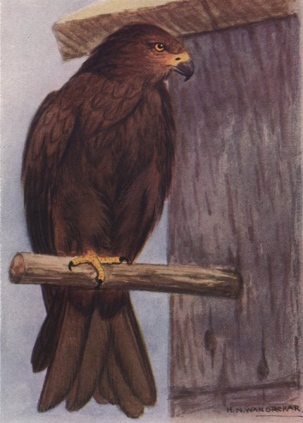 Associate Product INDIAN BIRDS. The Common Pariah Kite 1943 old vintage print picture