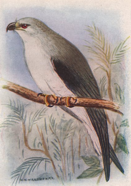 Associate Product INDIAN BIRDS. The Black-winged kite 1943 old vintage print picture