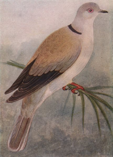 Associate Product INDIAN BIRDS. The Ring Dove 1943 old vintage print picture