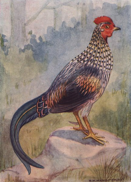 Associate Product INDIAN BIRDS. The Grey Jungle-fowl 1943 old vintage print picture
