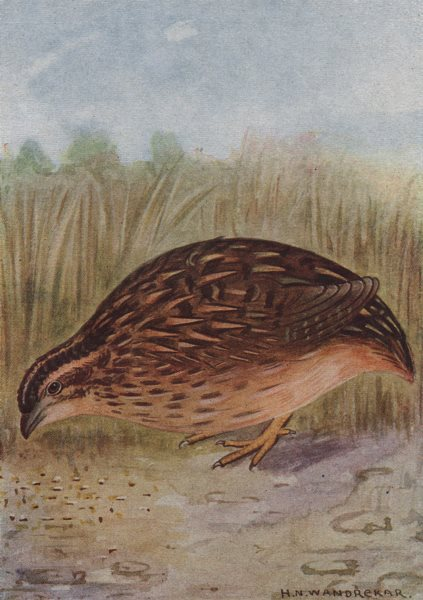 Associate Product INDIAN BIRDS. The Common or Grey Quail 1943 old vintage print picture