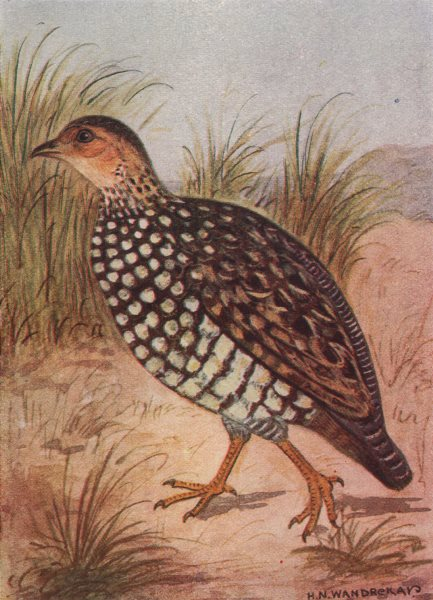 INDIAN BIRDS. The Painted Partridge 1943 old vintage print picture