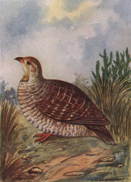 Associate Product INDIAN BIRDS. The Grey Patridge 1943 old vintage print picture