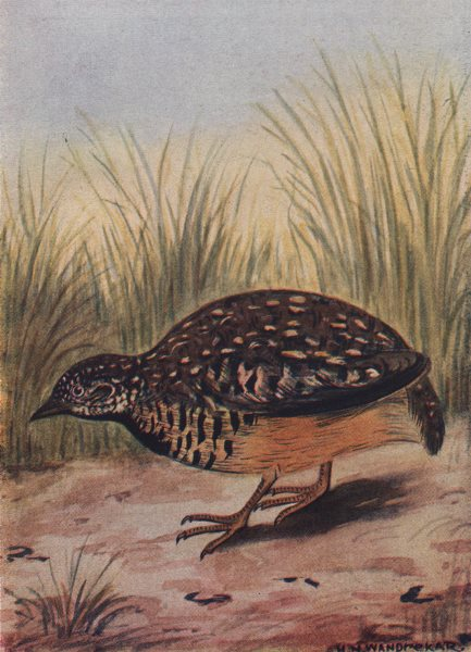 Associate Product INDIAN BIRDS. The Bustard-Quail 1943 old vintage print picture