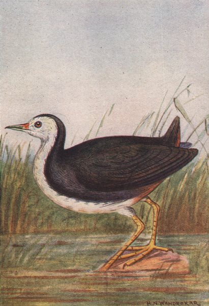 Associate Product INDIAN BIRDS. The White-Breasted Water-hen 1943 old vintage print picture