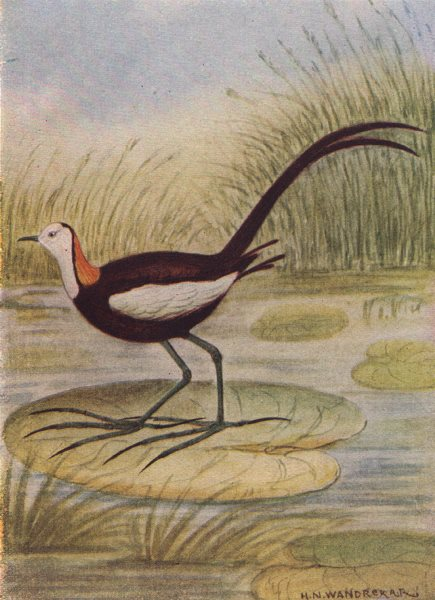 Associate Product INDIAN BIRDS. The Pheasant-tailed Jacana 1943 old vintage print picture