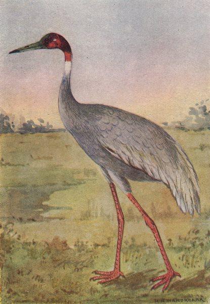INDIAN BIRDS. The Sarus Crane 1943 old vintage print picture