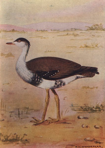 Associate Product INDIAN BIRDS. The Great Indian Bustard 1943 old vintage print picture