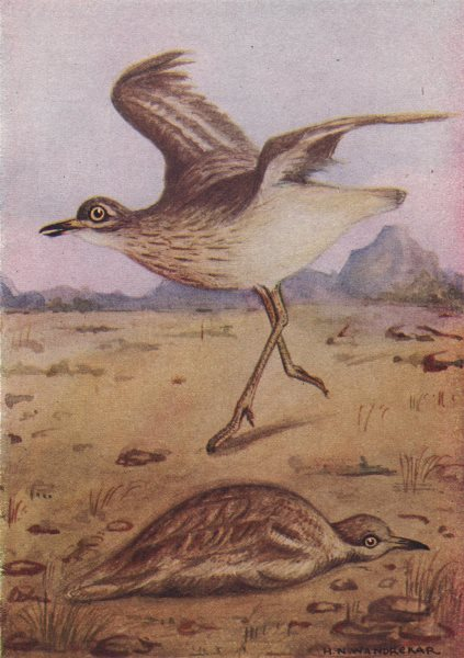 Associate Product INDIAN BIRDS. The Stone-Curlew 1943 old vintage print picture
