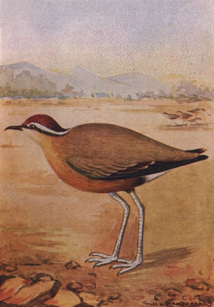 Associate Product INDIAN BIRDS. The Indian Courser 1943 old vintage print picture