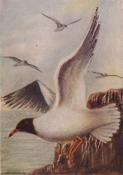 Associate Product INDIAN BIRDS. The Black-headed or Laughing Gull 1943 old vintage print picture