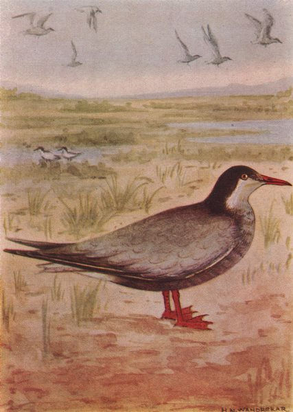 Associate Product INDIAN BIRDS. The Indian Whiskered Tern 1943 old vintage print picture