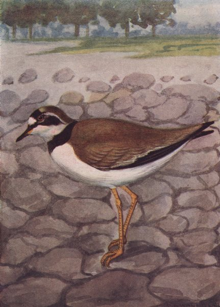 INDIAN BIRDS. The Little Ringed Plover 1943 old vintage print picture