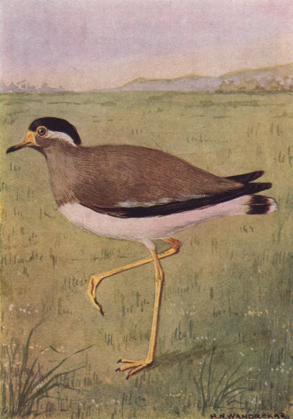 Associate Product INDIAN BIRDS. The Yellow-wattled Lapwing 1943 old vintage print picture